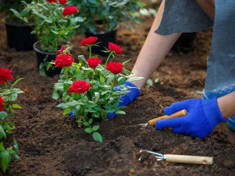 Как высаживать розы в открытый грунт
