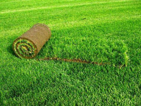 Газонная трава-виды
