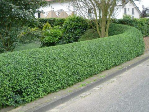 Вечнозелёные живые изгороди